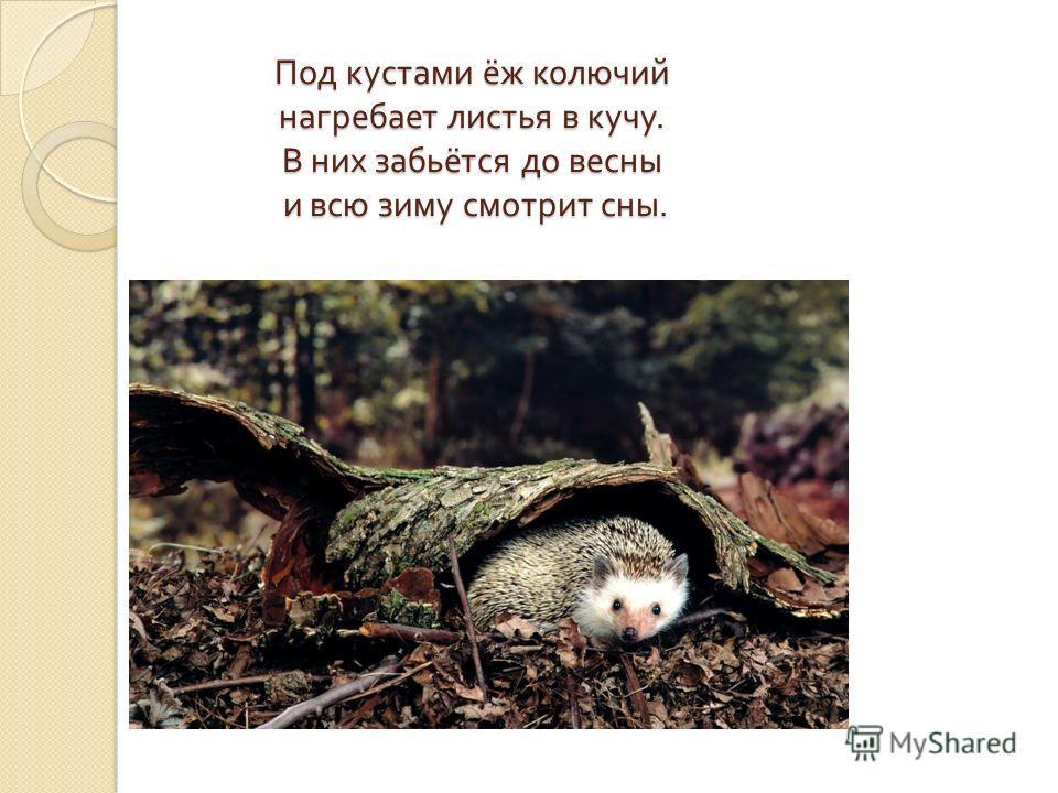 Под кустами ёж колючий нагребает листья в кучу. В них забьётся до весны и всю зиму смотрит сны.
