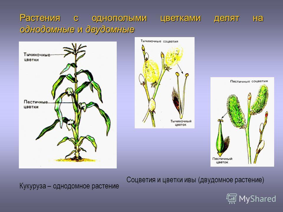 Соцветия и цветки ивы (двудомное растение) Растения с однополыми цветками делят на однодомные и двудомные Кукуруза – однодомное растение