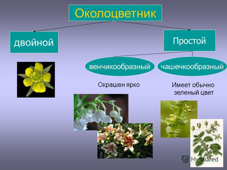 Околоцветник двойной Простой венчикообразный Окрашен ярко Имеет обычно зеленый цвет чашечкообразный