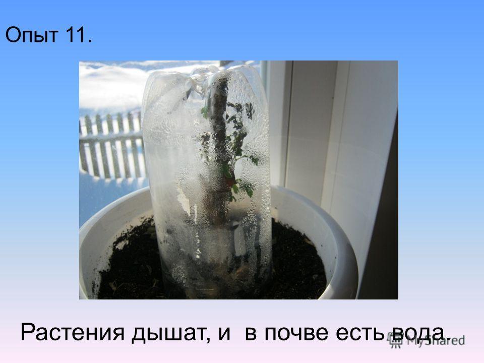Опыт 11. Растения дышат, и в почве есть вода.
