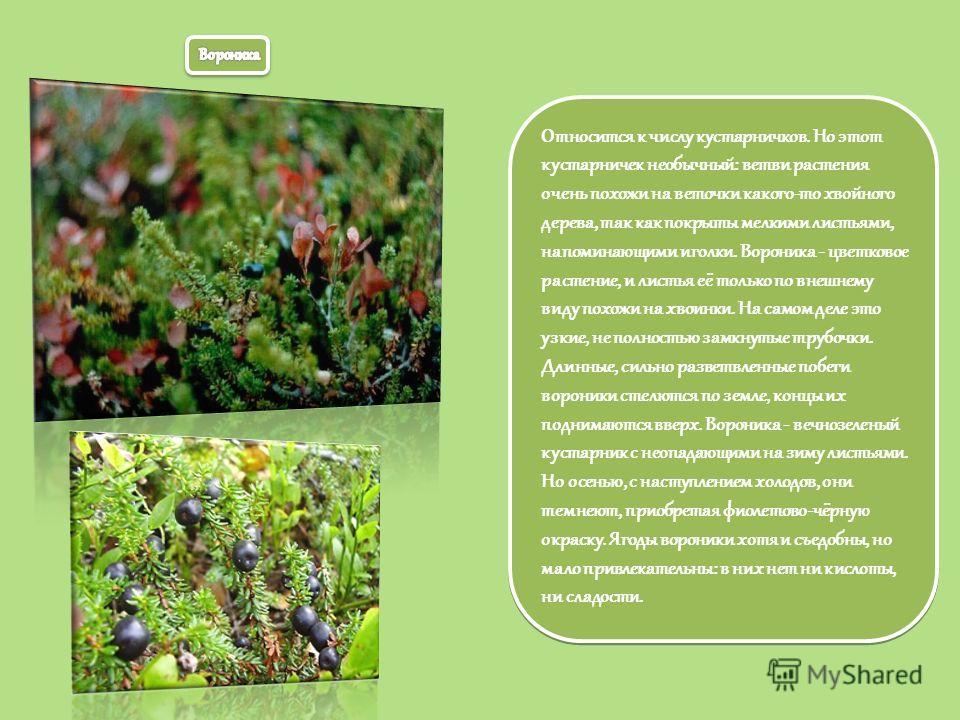 Относится к числу кустарничков. Но этот кустарничек необычный: ветви растения очень похожи на веточки какого-то хвойного дерева, так как покрыты мелкими листьями, напоминающими иголки. Вороника - цветковое растение, и листья её только по внешнему вид