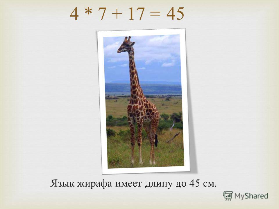 4 * 7 + 17 = Язык жирафа имеет длину до 45 см. 45