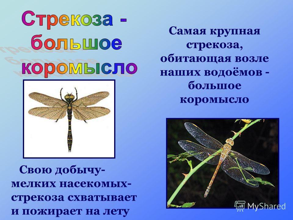 Самая крупная стрекоза, обитающая возле наших водоёмов - большое коромысло Свою добычу- мелких насекомых- стрекоза схватывает и пожирает на лету