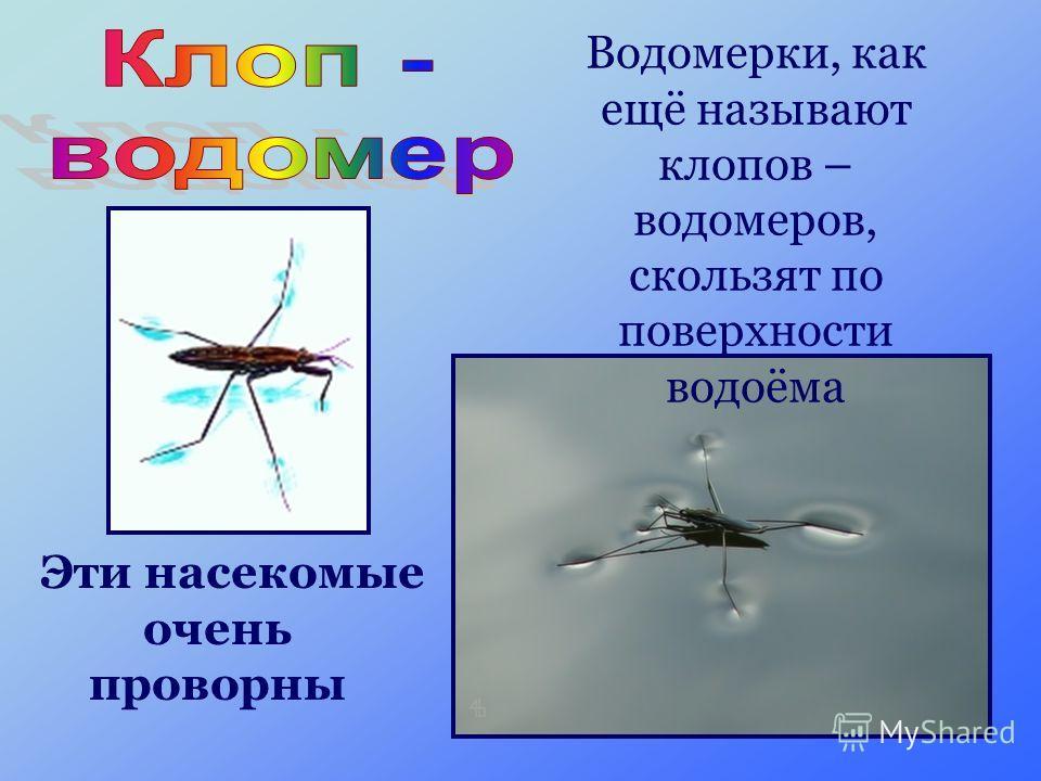 Водомерки, как ещё называют клопов – водомеров, скользят по поверхности водоёма Эти насекомые очень проворны