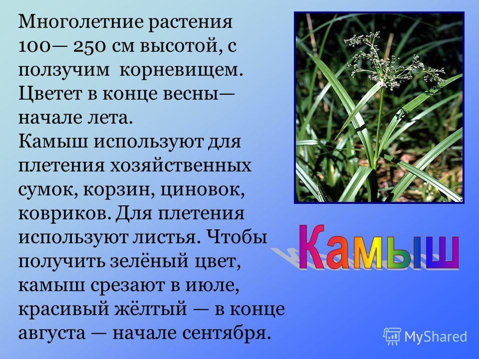 Многолетние растения 100 250 см высотой, с ползучим корневищем. Цветет в конце весны начале лета. Камыш используют для плетения хозяйственных сумок, корзин, циновок, ковриков. Для плетения используют листья. Чтобы получить зелёный цвет, камыш срезают