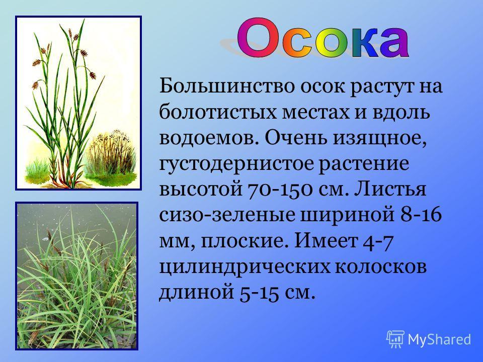 Большинство осок растут на болотистых местах и вдоль водоемов. Очень изящное, густодернистое растение высотой 70-150 см. Листья сизо-зеленые шириной 8-16 мм, плоские. Имеет 4-7 цилиндрических колосков длиной 5-15 см.