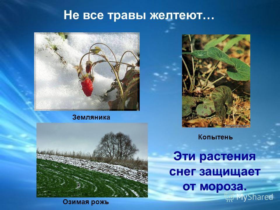 Как зимуют травы ? Травы желтеют.