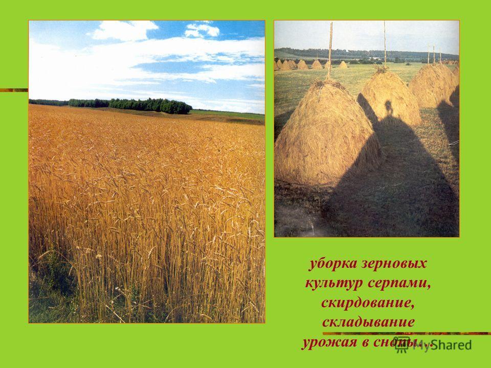 уборка зерновых культур серпами, скирдование, складывание урожая в снопы…