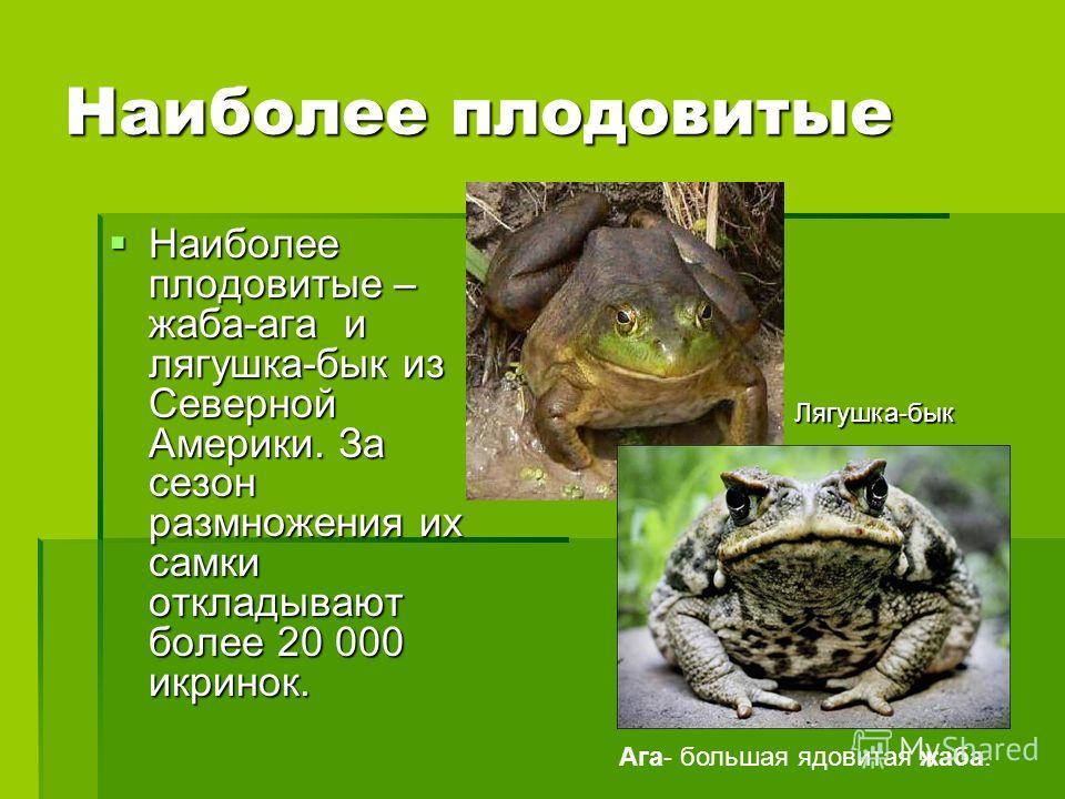 Наиболее плодовитые Наиболее плодовитые – жаба-ага и лягушка-бык из Северной Америки. За сезон размножения их самки откладывают более 20 000 икринок. Наиболее плодовитые – жаба-ага и лягушка-бык из Северной Америки. За сезон размножения их самки откл
