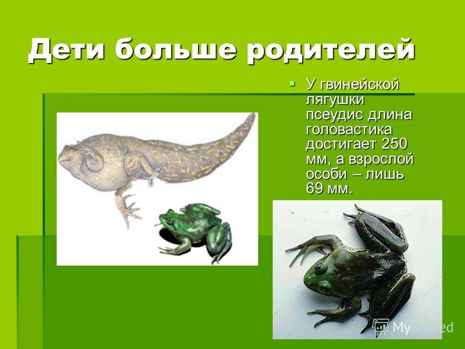 Дети больше родителей У гвинейской лягушки псеудис длина головастика достигает 250 мм, а взрослой особи – лишь 69 мм. У гвинейской лягушки псеудис длина головастика достигает 250 мм, а взрослой особи – лишь 69 мм.