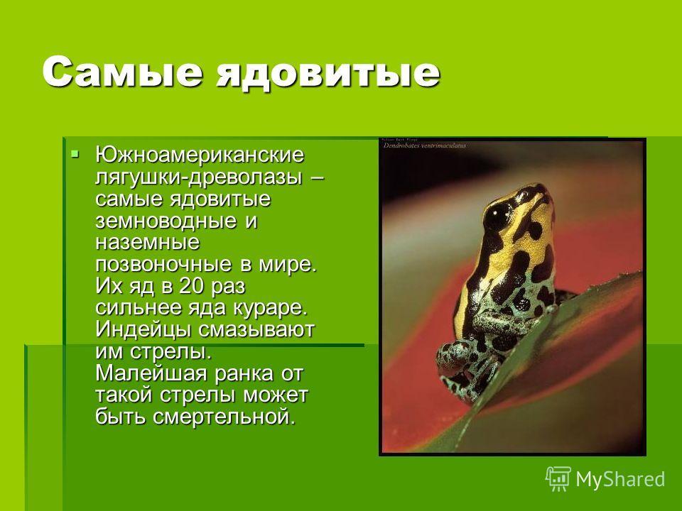 Самые ядовитые Южноамериканские лягушки-древолазы – самые ядовитые земноводные и наземные позвоночные в мире. Их яд в 20 раз сильнее яда кураре. Индейцы смазывают им стрелы. Малейшая ранка от такой стрелы может быть смертельной. Южноамериканские лягу