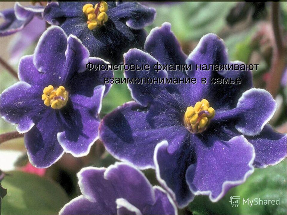 Фиолетовые фиалки налаживают взаимопонимание в семье