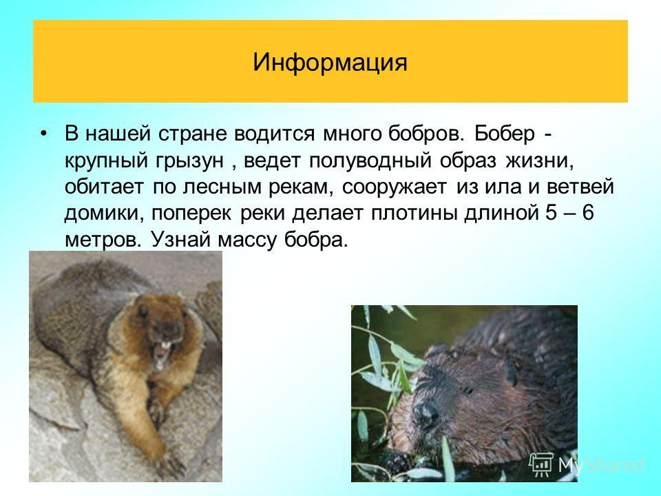 Информация В нашей стране водится много бобров. Бобер - крупный грызун, ведет полуводный образ жизни, обитает по лесным рекам, сооружает из ила и ветвей домики, поперек реки делает плотины длиной 5 – 6 метров. Узнай массу бобра.