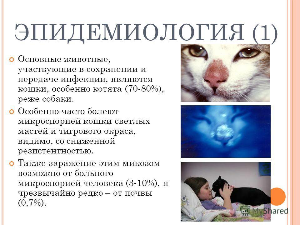 ЭПИДЕМИОЛОГИЯ (1) Основные животные, участвующие в сохранении и передаче инфекции, являются кошки, особенно котята (70-80%), реже собаки. Особенно часто болеют микроспорией кошки светлых мастей и тигрового окраса, видимо, со сниженной резистентностью