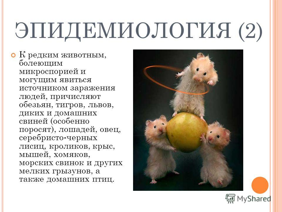 ЭПИДЕМИОЛОГИЯ (2) К редким животным, болеющим микроспорией и могущим явиться источником заражения людей, причисляют обезьян, тигров, львов, диких и домашних свиней (особенно поросят), лошадей, овец, серебристо-черных лисиц, кроликов, крыс, мышей, хом