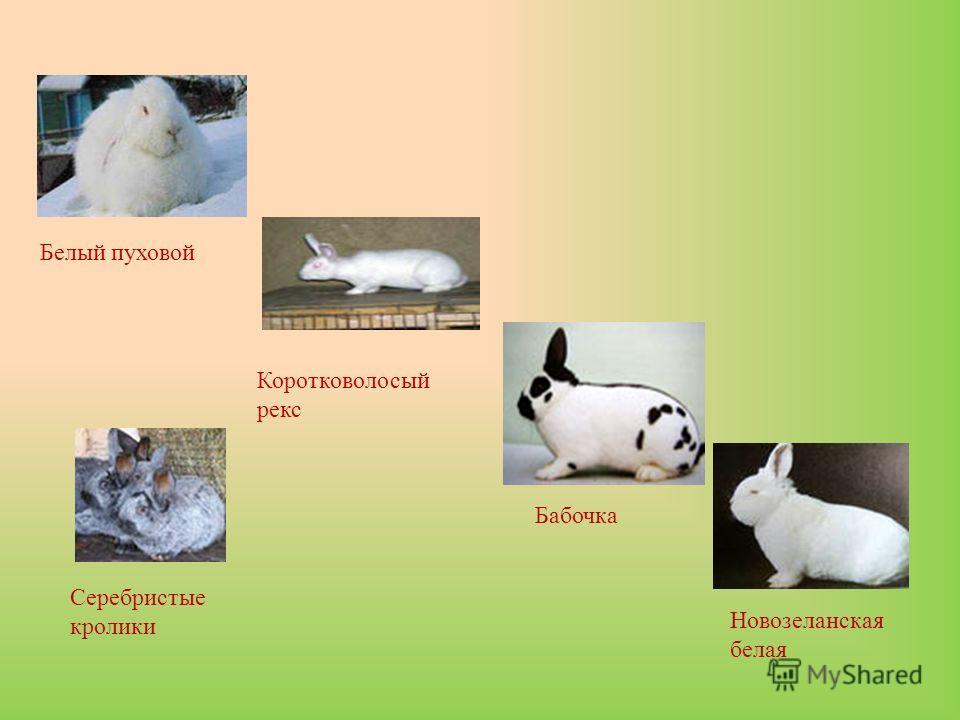 Бабочка Белый пуховой Новозеланская белая Серебристые кролики Коротковолосый рекс