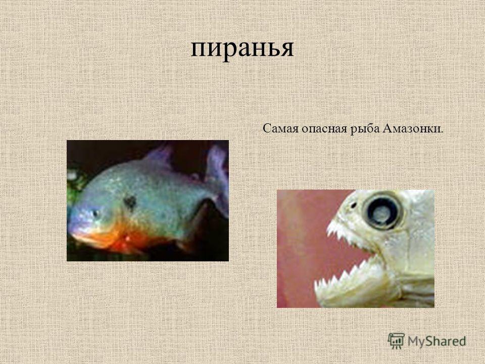 пиранья Самая опасная рыба Амазонки.