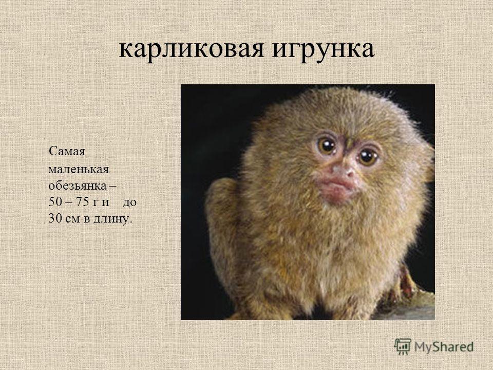 карликовая игрунка Самая маленькая обезьянка – 50 – 75 г и до 30 см в длину.