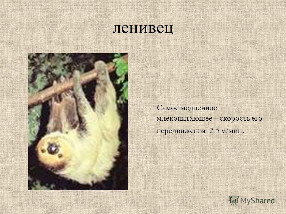 ленивец Самое медленное млекопитающее – скорость его передвижения 2,5 м/мин.