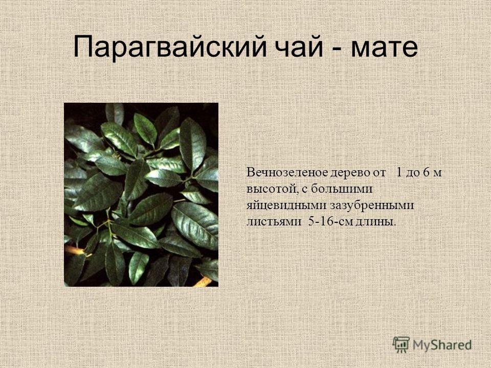 Парагвайский чай - мате Вечнозеленое дерево от 1 до 6 м высотой, с большими яйцевидными зазубренными листьями 5-16-см длины.