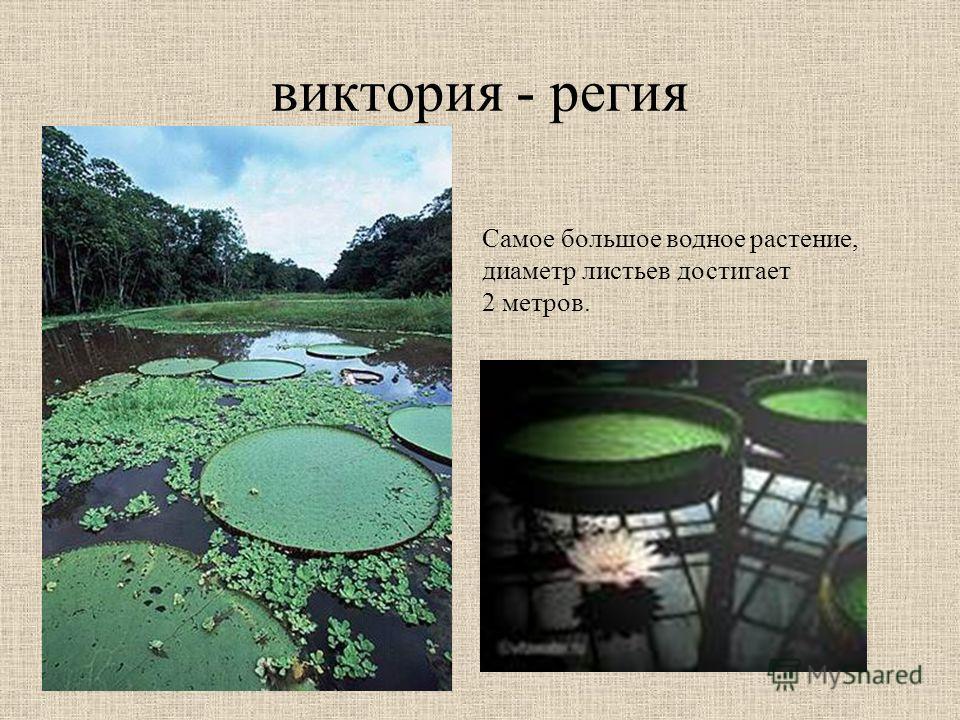 виктория - регия Самое большое водное растение, диаметр листьев достигает 2 метров.