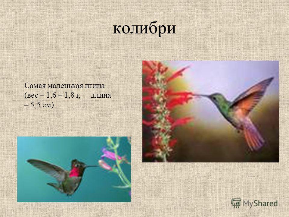 колибри Самая маленькая птица (вес – 1,6 – 1,8 г, длина – 5,5 см)