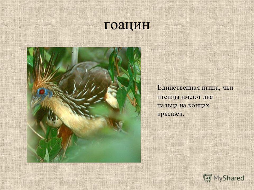 гоацин Единственная птица, чьи птенцы имеют два пальца на концах крыльев.