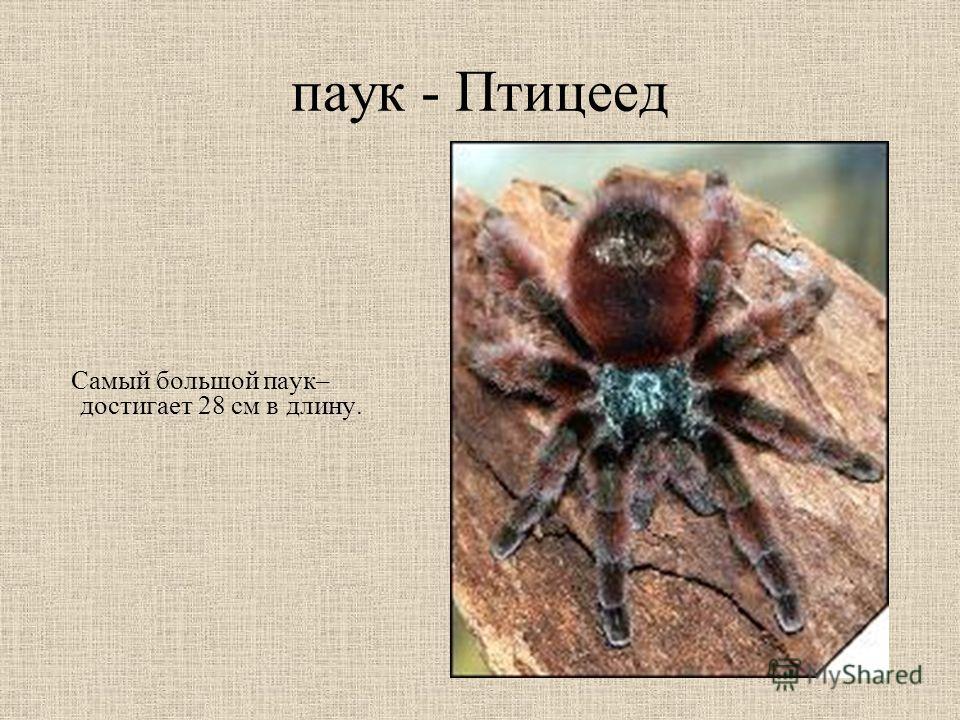 паук - Птицеед Самый большой паук– достигает 28 см в длину.