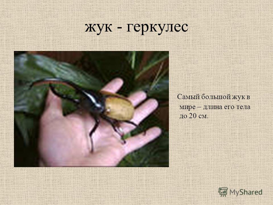 жук - геркулес Самый большой жук в мире – длина его тела до 20 см.