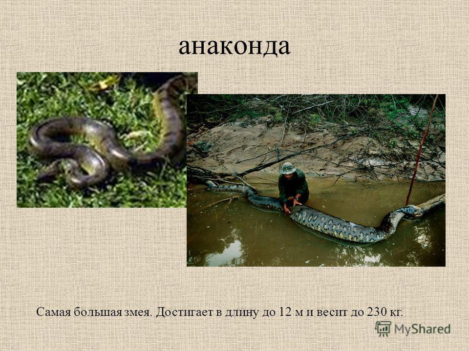 анаконда Самая большая змея. Достигает в длину до 12 м и весит до 230 кг.