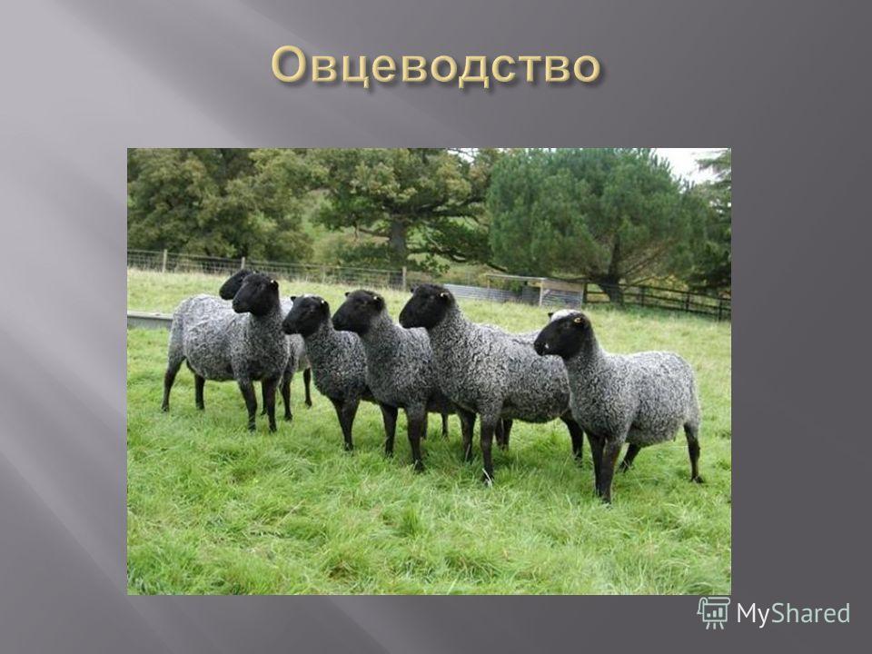 Презентация на тему Овцеводство отрасль животноводства  3 Овцеводство отрасль животноводства занимающаяся разведением овец Эти животные относятся к семейству полорогих парнокопытных