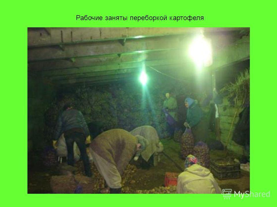 Рабочие заняты переборкой картофеля