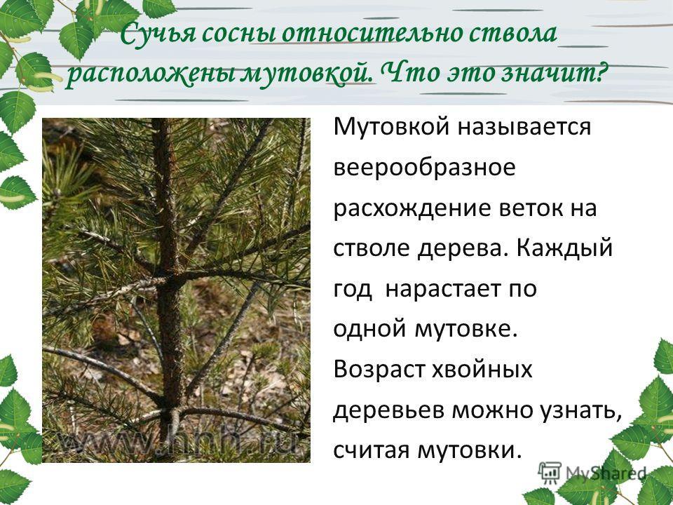 Сучья сосны относительно ствола расположены мутовкой. Что это значит? Мутовкой называется веерообразное расхождение веток на стволе дерева. Каждый год нарастает по одной мутовке. Возраст хвойных деревьев можно узнать, считая мутовки.