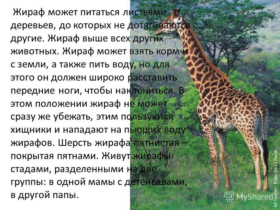 Жираф может питаться листьями деревьев, до которых не дотягиваются другие. Жираф выше всех других животных. Жираф может взять корм и с земли, а также пить воду, но для этого он должен широко расставить передние ноги, чтобы наклониться. В этом положен