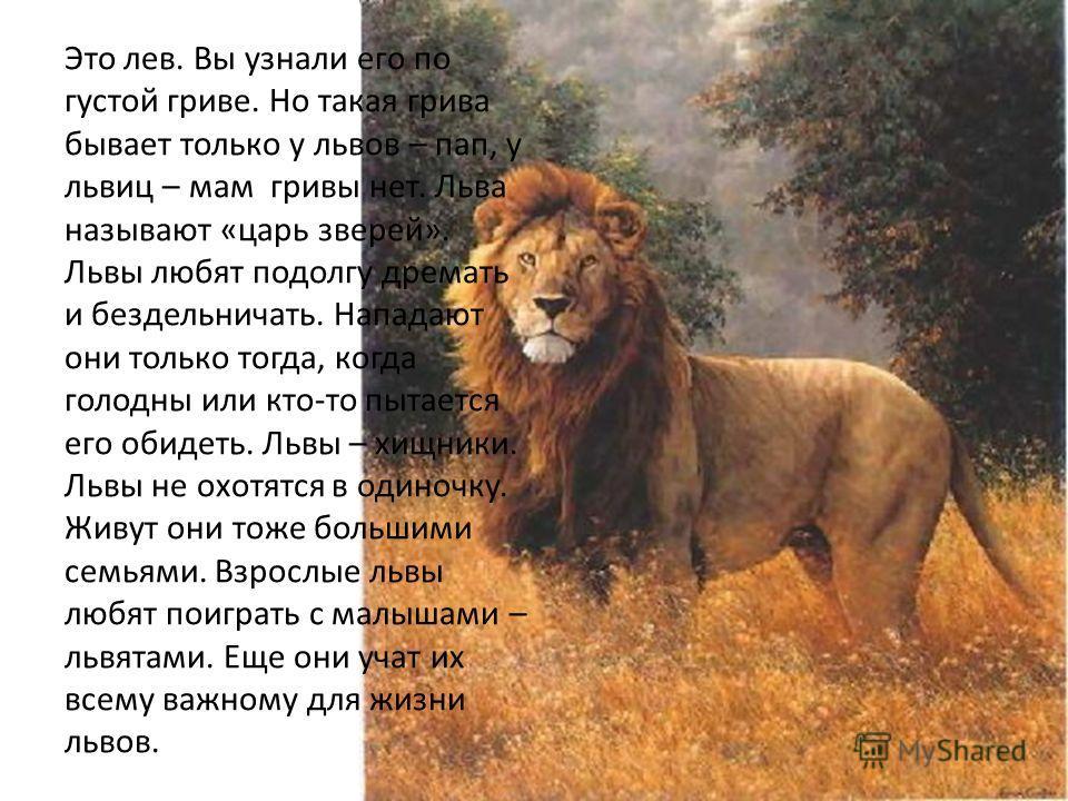 Это лев. Вы узнали его по густой гриве. Но такая грива бывает только у львов – пап, у львиц – мам гривы нет. Льва называют «царь зверей». Львы любят подолгу дремать и бездельничать. Нападают они только тогда, когда голодны или кто-то пытается его оби