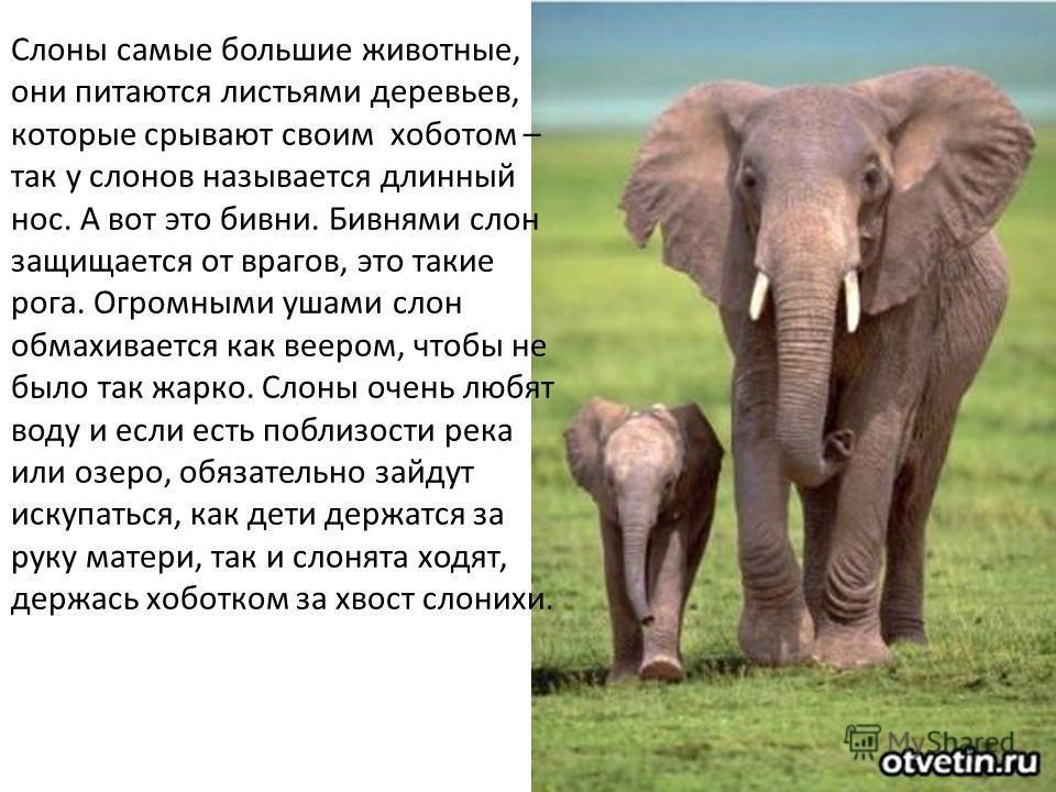 Слоны самые большие животные, они питаются листьями деревьев, которые срывают своим хоботом – так у слонов называется длинный нос. А вот это бивни. Бивнями слон защищается от врагов, это такие рога. Огромными ушами слон обмахивается как веером, чтобы