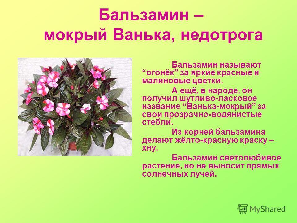 Бальзамин называют огонёк за яркие красные и малиновые цветки. А ещё, в народе, он получил шутливо-ласковое название Ванька-мокрый за свои прозрачно-водянистые стебли. Из корней бальзамина делают жёлто-красную краску – хну. Бальзамин светолюбивое рас
