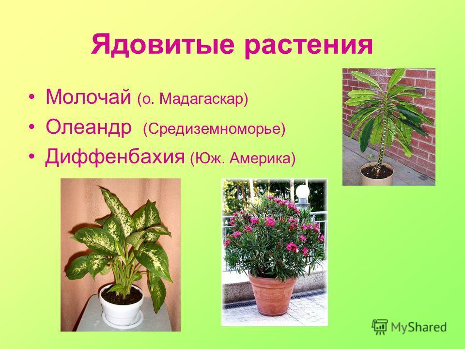 Ядовитые растения Молочай (о. Мадагаскар) Олеандр (Средиземноморье) Диффенбахия (Юж. Америка)