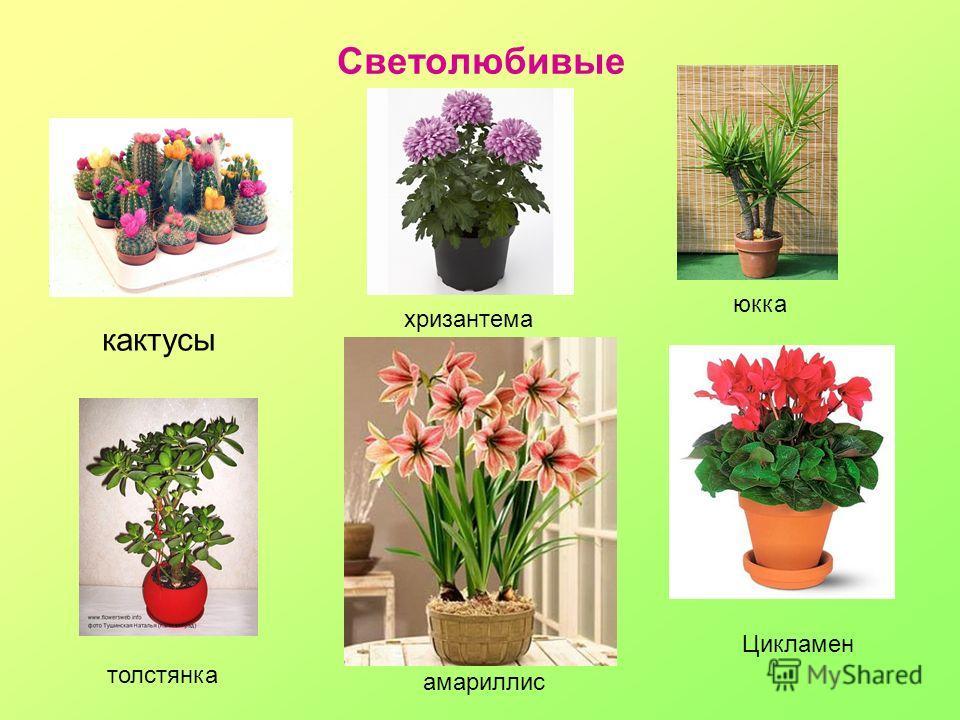 Светолюбивые кактусы хризантема юкка толстянка амариллис Цикламен