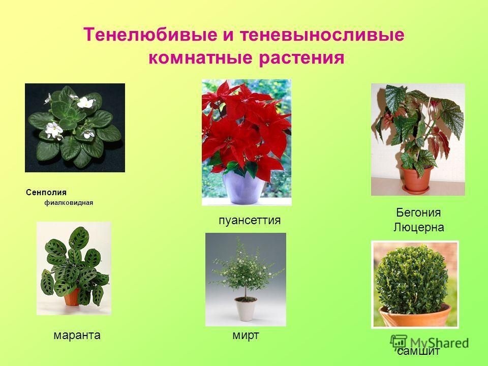 Тенелюбивые и теневыносливые комнатные растения Сенполия фиалковидная Бегония Люцерна пуансеттия марантамирт самшит