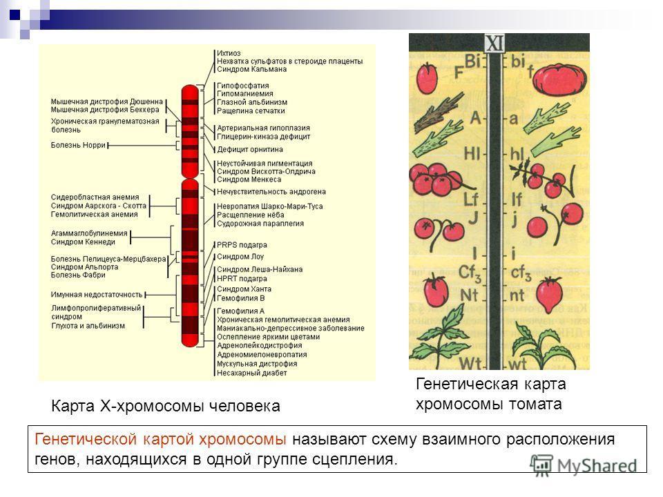 Карта X-хромосомы человека Генетическая карта хромосомы томата Генетической картой хромосомы называют схему взаимного расположения генов, находящихся в одной группе сцепления.