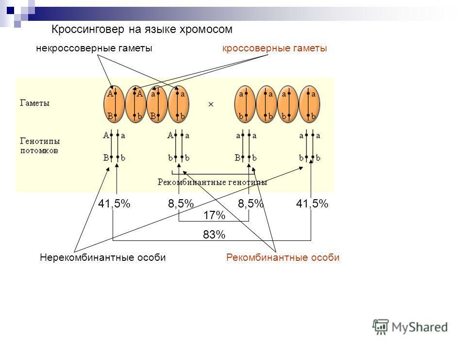 Кроссинговер на языке хромосом 8,5% 17% 41,5% 83% некроссоверные гаметыкроссоверные гаметы Нерекомбинантные особиРекомбинантные особи