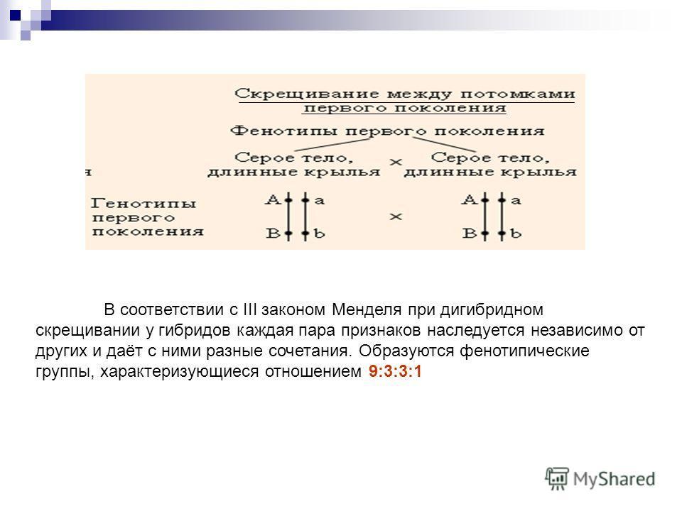 В соответствии с III законом Менделя при дигибридном скрещивании у гибридов каждая пара признаков наследуется независимо от других и даёт с ними разные сочетания. Образуются фенотипические группы, характеризующиеся отношением 9:3:3:1