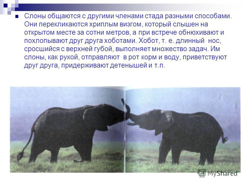 Слоны общаются с другими членами стада разными способами. Они перекликаются хриплым визгом, который слышен на открытом месте за сотни метров, а при встрече обнюхивают и похлопывают друг друга хоботами. Хобот, т. е. длинный нос, сросшийся с верхней гу