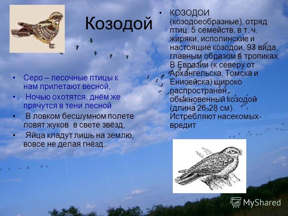 Козодой Серо – песочные птицы к нам прилетают весной, Ночью охотятся, днём же прячутся в тени лесной В ловком бесшумном полете ловят жуков в свете звёзд, Яйца кладут лишь на землю, вовсе не делая гнёзд. КОЗОДОИ (козодоеобразные), отряд птиц. 5 семейс