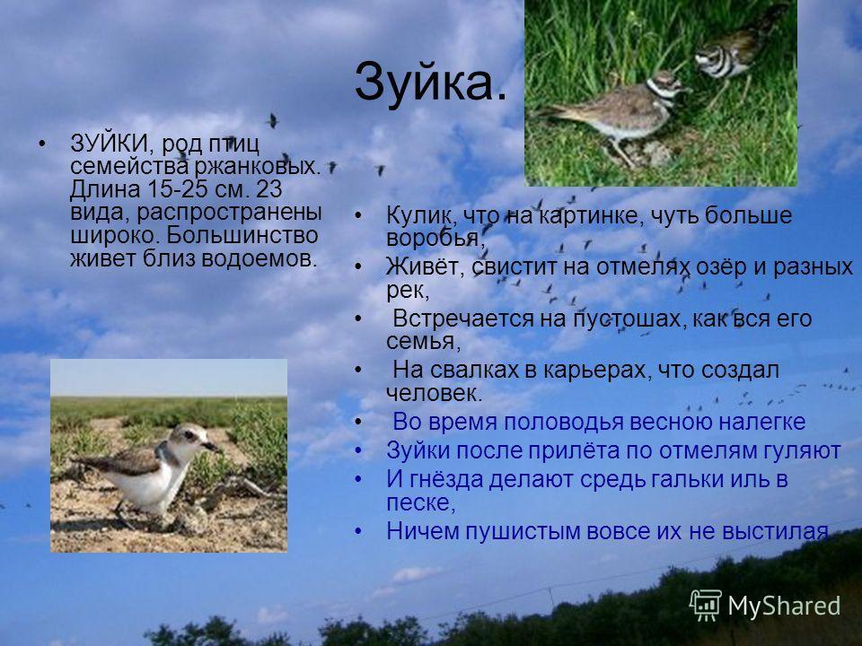 Зуйка. ЗУЙКИ, род птиц семейства ржанковых. Длина 15-25 см. 23 вида, распространены широко. Большинство живет близ водоемов. Кулик, что на картинке, чуть больше воробья, Живёт, свистит на отмелях озёр и разных рек, Встречается на пустошах, как вся ег