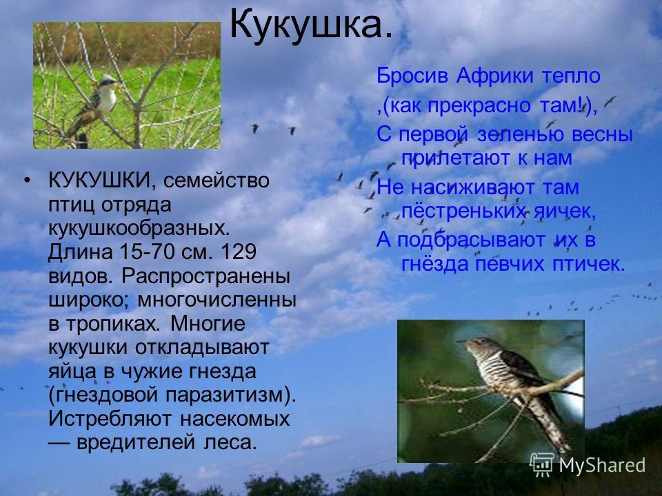 Кукушка. КУКУШКИ, семейство птиц отряда кукушкообразных. Длина 15-70 см. 129 видов. Распространены широко; многочисленны в тропиках. Многие кукушки откладывают яйца в чужие гнезда (гнездовой паразитизм). Истребляют насекомых вредителей леса. Бросив А