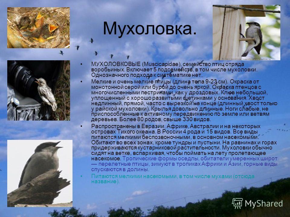 Мухоловка. МУХОЛОВКОВЫЕ (Muscicapidae), семейство птиц отряда воробьиных. Включает 5 подсемейств, в том числе мухоловки. Однозначного подхода к систематике нет. Мелкие и очень мелкие птицы (длина тела 9-23 см). Окраска от монотонной серой или бурой д