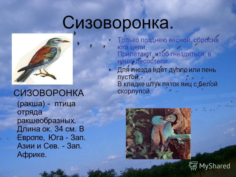 Сизоворонка. СИЗОВОРОНКА (ракша) - птица отряда ракшеобразных. Длина ок. 34 см. В Европе, Юга - Зап. Азии и Сев. - Зап. Африке. Только позднею весной, сбросив юга цепи, Прилетают, чтоб гнездиться, в наши лесостепи. Для гнезда идёт дупло или пень пуст