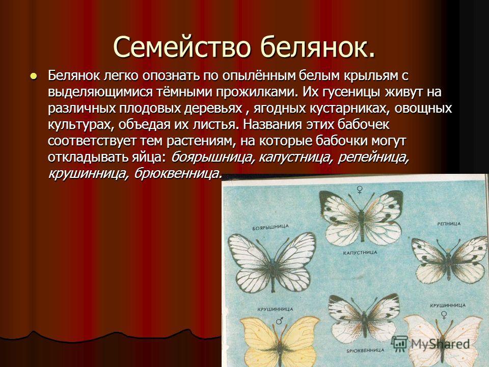 Семейство белянок. Белянок легко опознать по опылённым белым крыльям с выделяющимися тёмными прожилками. Их гусеницы живут на различных плодовых деревьях, ягодных кустарниках, овощных культурах, объедая их листья. Названия этих бабочек соответствует